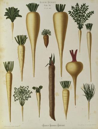 Root plants, / Album Benary / Lithograph