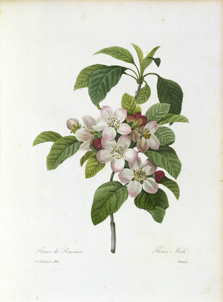 Apple blossom / Redoute