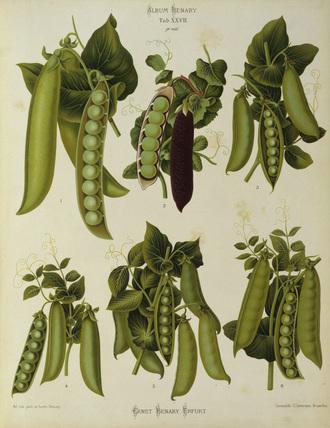 Peas / Album Benary / Colour lithograph