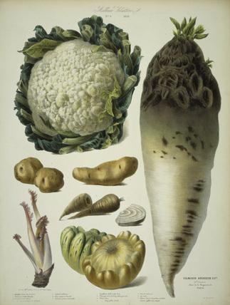 Cauliflower, pumpkin a.o/ Album Vilmorin