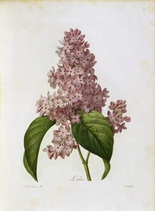 Lilac / Redoute