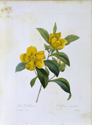 Dillenia scandens / Redoute
