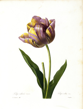 Tulip / Redoute