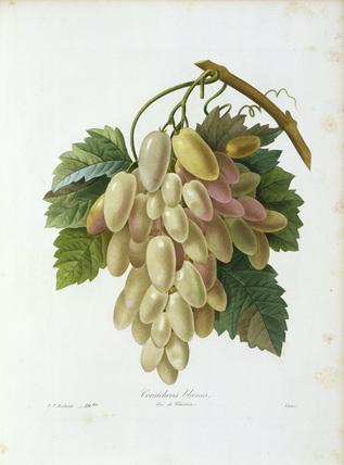Grape / Redoute