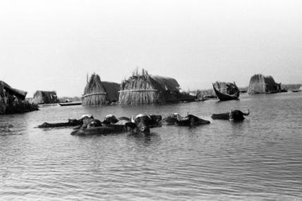 Buffaloes and houses at Qabab