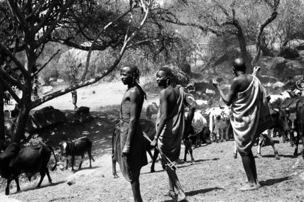 Maasai herding