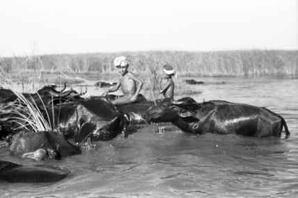 Suaid boys herding buffaloes