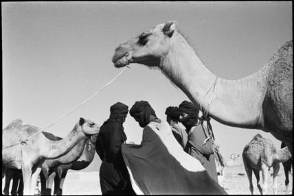 Tuareg men with camels