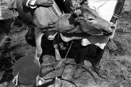 Bleeding an ox