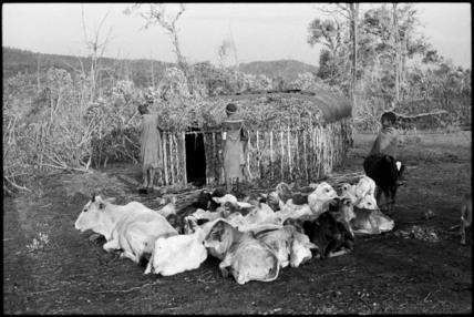 Cattle in a circumcision camp