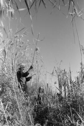 Madan man cutting qasab in the Marshes