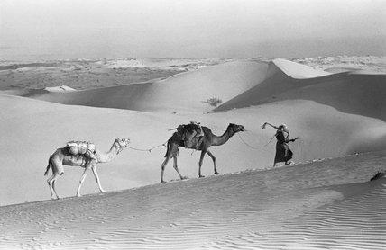 Salim bin Kabina with camels