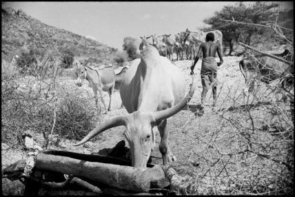 Ox drinking water from a trough