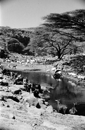 Donkeys and goats watering