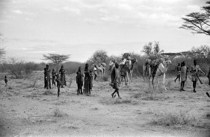 Loaded camels
