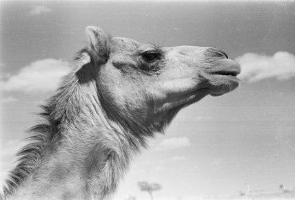 Wahiba camel
