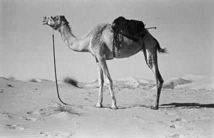 Batina camel