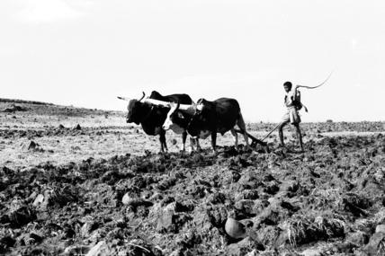 Man ploughing stony ground