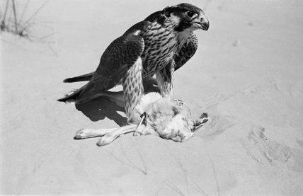Peregrine falcon with its kill