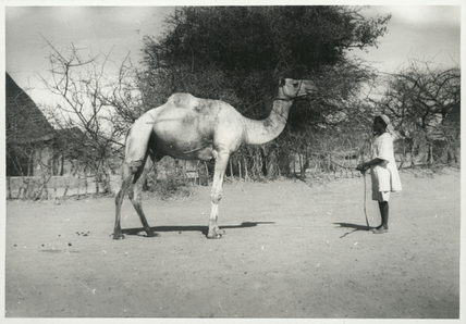 Camel owned by Thesiger
