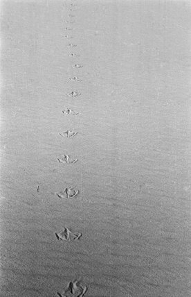 Tracks of a pelican in ...