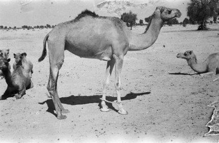 A camel at Mughshin Oasis ...