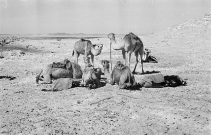 Camels belonging to Wilfred Thesiger's ...
