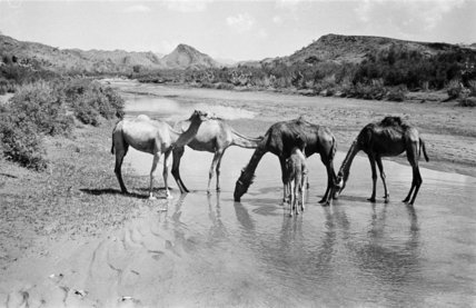 Camels drinking in a shallow ...