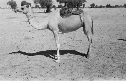A partially saddled camel at ...
