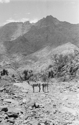 View of two camels standing ...