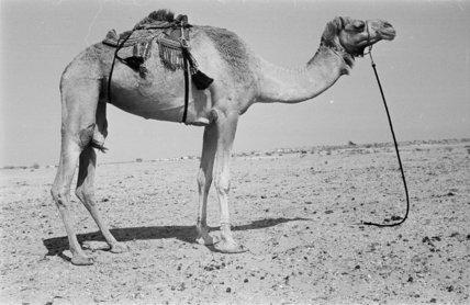 Profile portrait of a camel ...