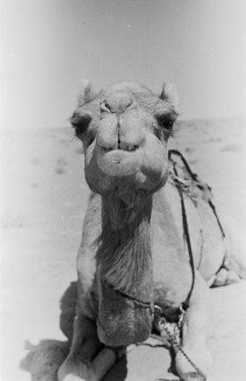 Portrait of a thoroughbred Omani ...