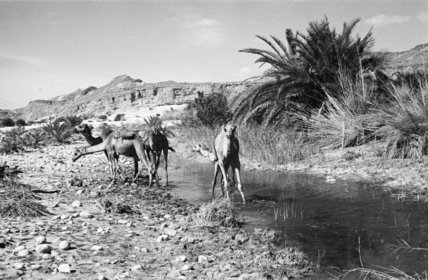 View of camels belonging to ...