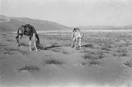 View of two camels belonging ...