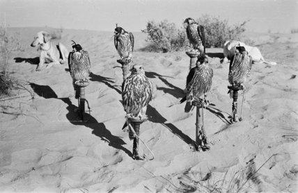 Portrait of six trained falcons ...