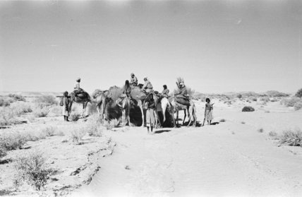 View of camels, ridden by ...