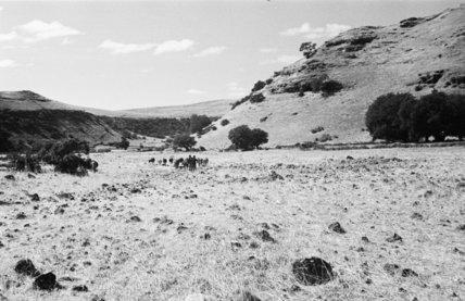 View of people herding cows ...