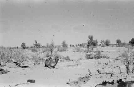View of a camel belonging ...