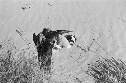 View of a peregrine falcon ...