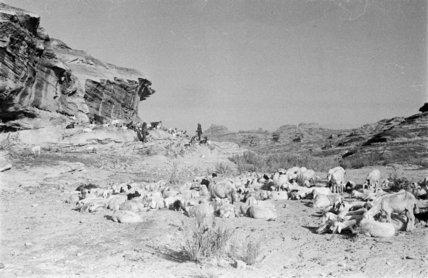 View of Qahtan Bedouin herding ...