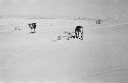 View of two camels, which ...