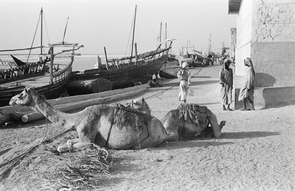 View of two camels couched ...