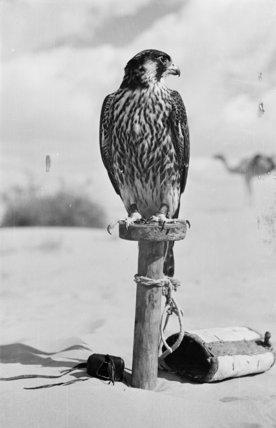 Portrait of a peregrine falcon ...