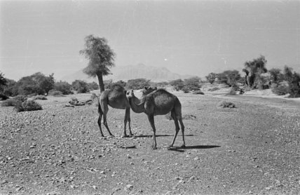 View of two camels, belonging ...