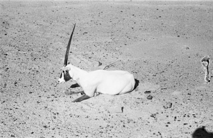 View of a dying Arabian ...