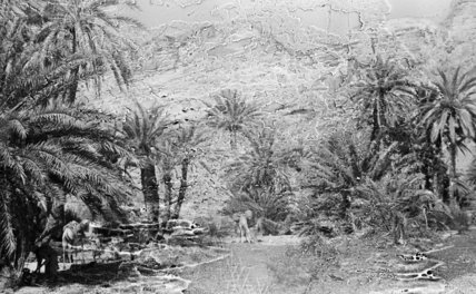 Palm trees in the Wadi ...