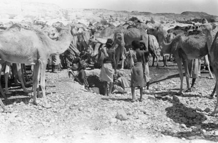 Mahra Bedouin watering camels at ...