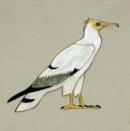 egyptian vulture drawing - photo #39