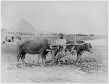 Egyptian Ploughman at Giza