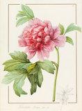 Paeonia suffruticosa, by Pierre Joseph Redoute